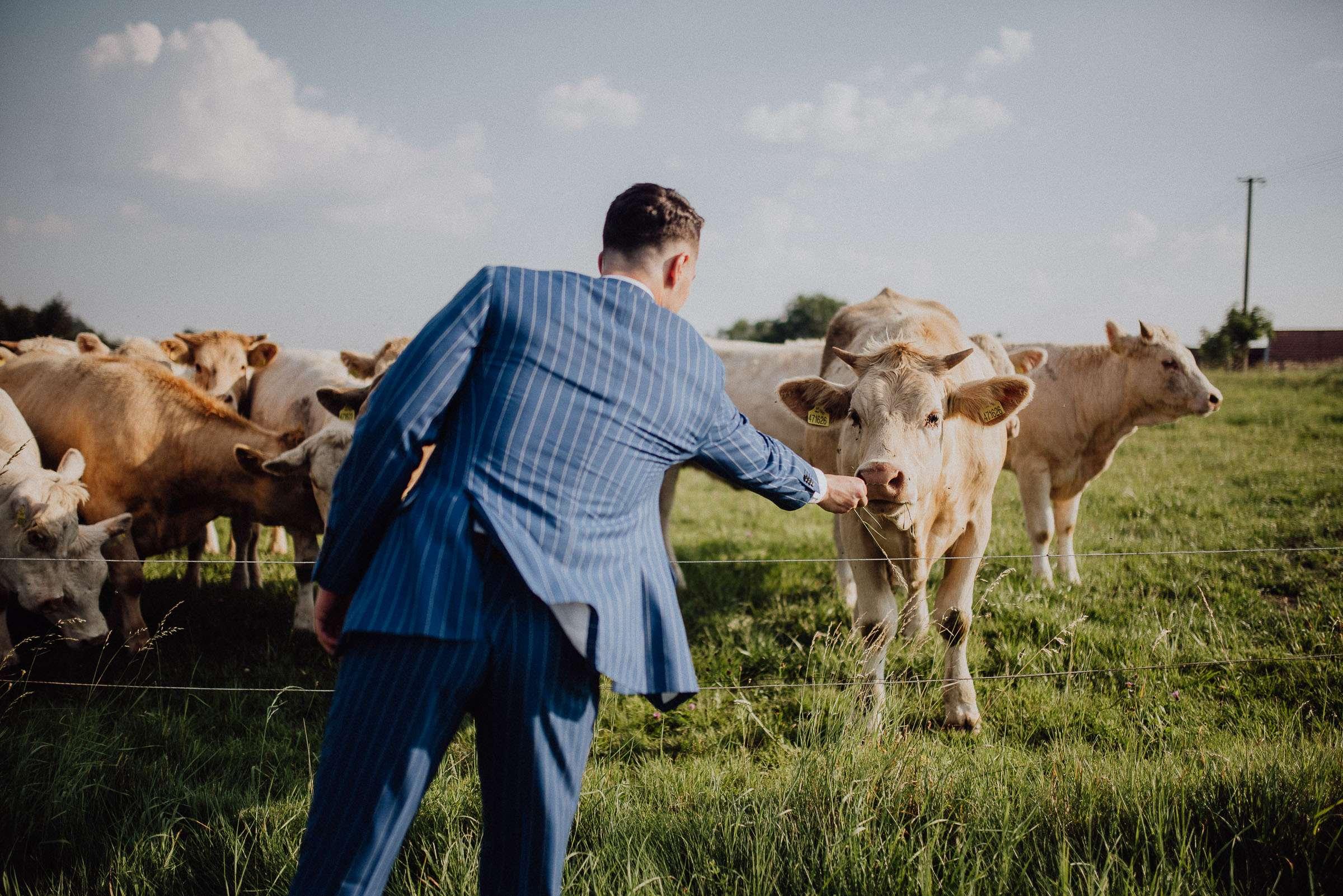 Ženich krmí senem krávy přihlížející focení Orlické hory Kunvald